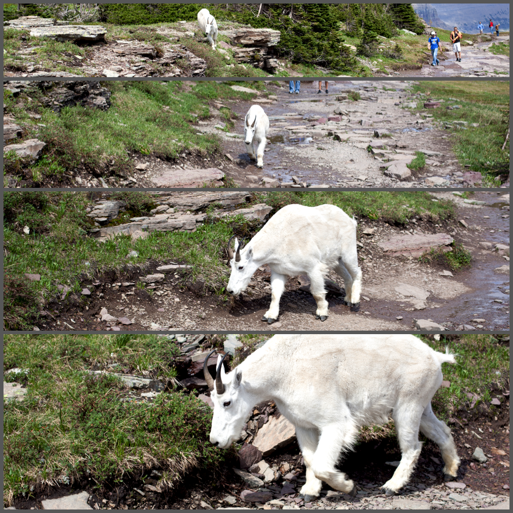 Mountain Goat in Glacier National Park
